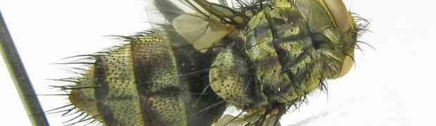 fg-taxon #89 (Masiphya sp. - male)