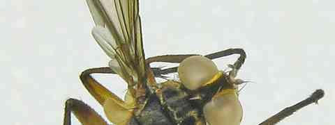 fg-taxon #8 (Xanthomelanodes & Pennapoda sp.)