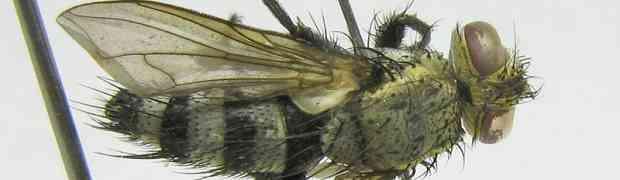 Pelecotheca (prob. Cryptocladocera) sp. female (fg-taxon #90)