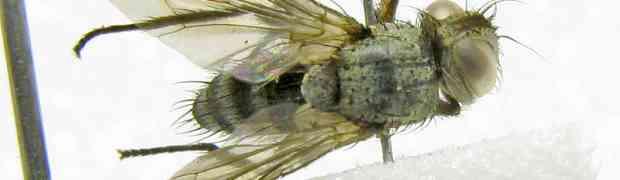 Cerotachina sp. (fg-taxon #97)
