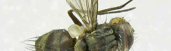 fg-taxon #98 (Calodexia sp.)