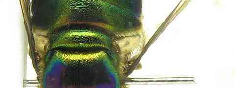 Acrocerid #2 (Lasia sp.)