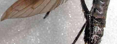 Bombylid #2 (Lepidophora cf. acroleuca)