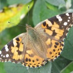 painted-lady-red-cow-cholsey-20090725-05