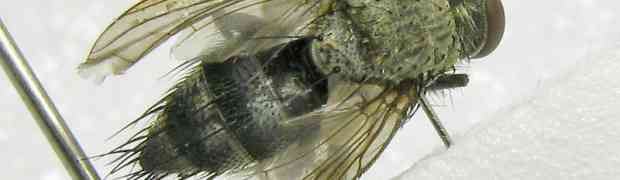 Masiphya sp. (pe-taxon #02)
