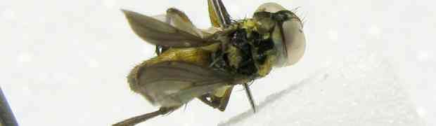 Acaulona sp. (pe-taxon #04)