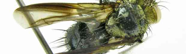 Deopalpus sp. (pe-taxon #06)