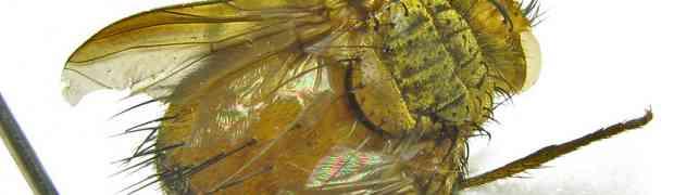Trichophora (Diaphanomyia) aurifacies, Desvoidy (pe-taxon #07)