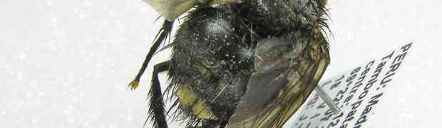 Belvosia sp. (pe-taxon #08)