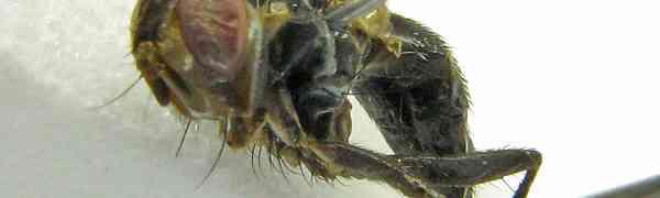 Souzalopesmyia sp. (Muscidae, pe-taxon #10)