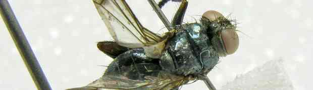 pe-taxon #11 (not Stenodexia sp.)