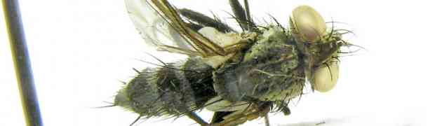 possibly Arrhinactia sp. ??? (pe-taxon #15)