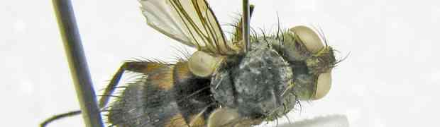 Pelecotheca flavipes Thompson (Neominthoini, pe-taxon #16)