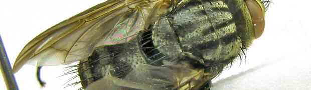 Pyrrhodexia & Acronacantha nubilipennis (pe-taxon #21)