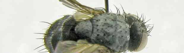 Phytomyptera sp. (pe-taxon #26)