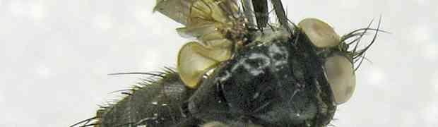 Ebenia sp. (pe-taxon #28)