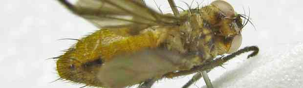 Souzalopesmyia sp. (Muscidae, pe-taxon #29)
