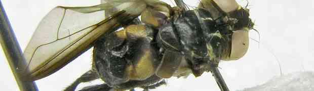 Pennapoda sp. ??? (pe-taxon #30)