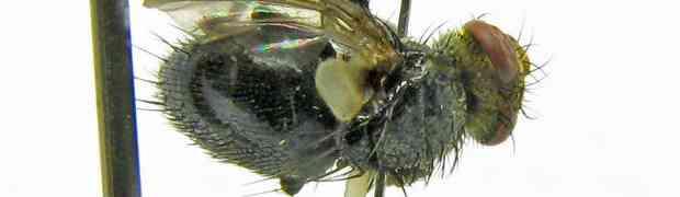 Itacuphocera (pe-taxon #22)