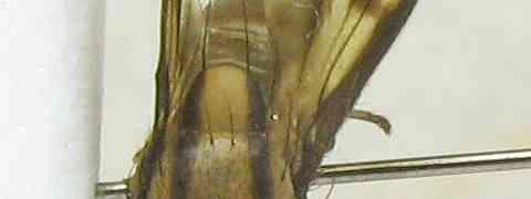 Lauxanid #1 (Setulina cf. geminata)