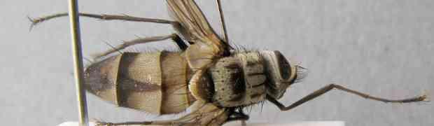 Zelia sp. (fg-taxon #1)