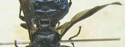 Stratiomyid #2 (Cyphomyia sp.)