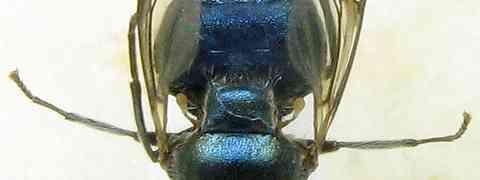 Stratiomyid #3 (Panacris sp.)