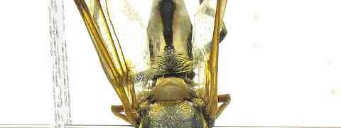 Stratiomyid #5 (Hermetia pulchra Wiedemann, 1830)