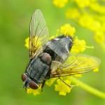 sturmia-bella-female-warburg-reserve-oxon-20050723-045
