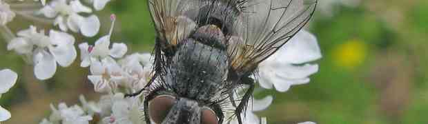 The Hornet Robber fly - 8th August 2009